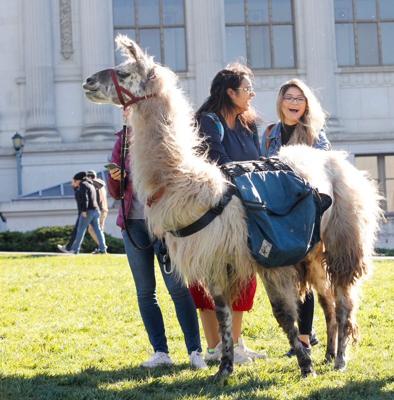 Students pet llamas