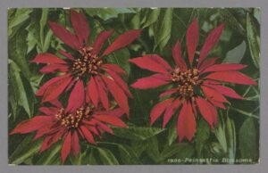 Color postcard, in red and green, of poinettia blossoms and leaves