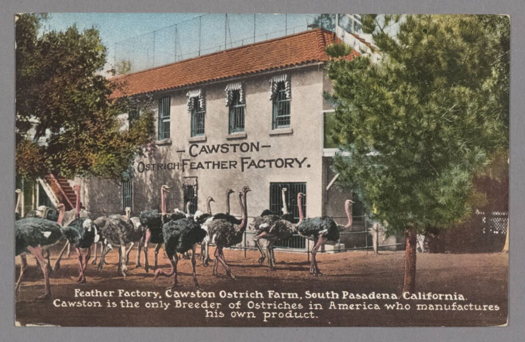Color postcard, circa 1900, of a Southern California ostrich farm and feather factory.