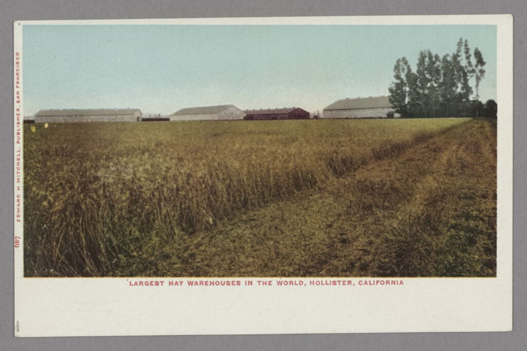 Color postcard, circa 1905, of a hayfield and three large barns in the distance, near Hollister, California